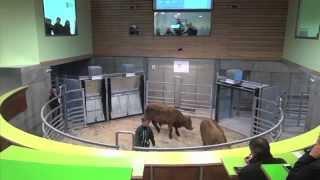 Les éleveurs ont testé #9 : le nouveau marché au cadran de Mauriac