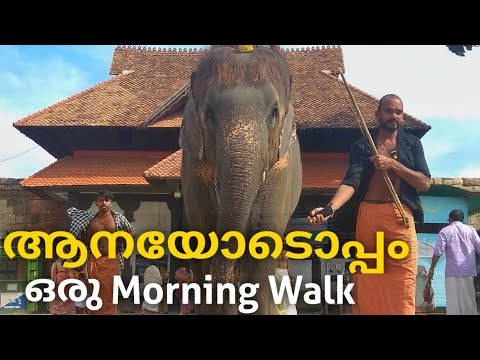 Morning Walk With An Elephant 🌞 ! | Mathilakam Sudarsana | Kerala Elephants  | Cute Elephant