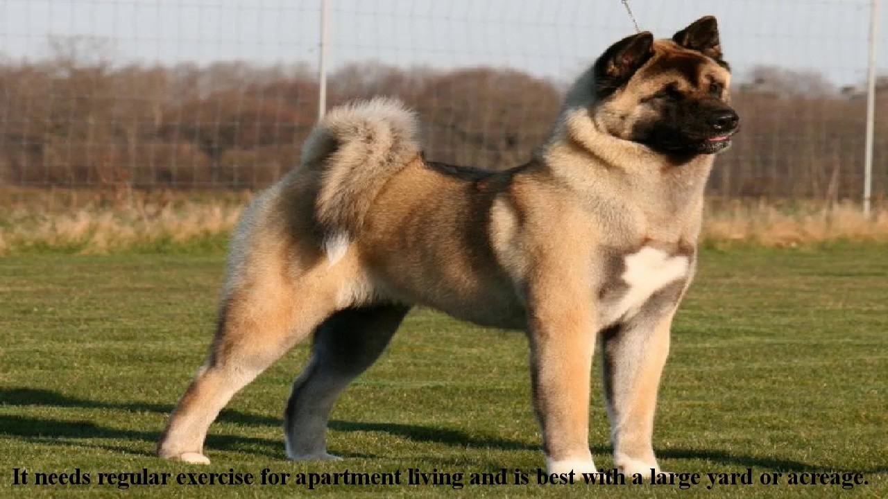 Akita Dog Is A Big Powerful Dog Akita Puppies Is Very Large And Powerful Dog Breed Youtube