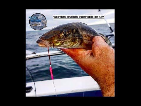 Whiting Fishing Port Phillip Bay