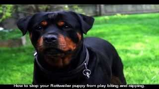 Where Can I Find Rottweiler Puppies For Sale Price