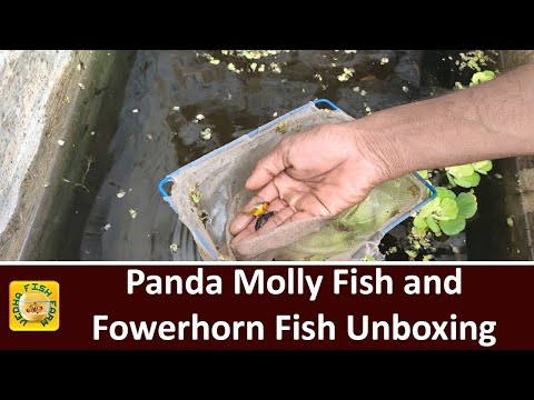 Flowerhorn Fish Unboxing And Panda Molly Fish Update