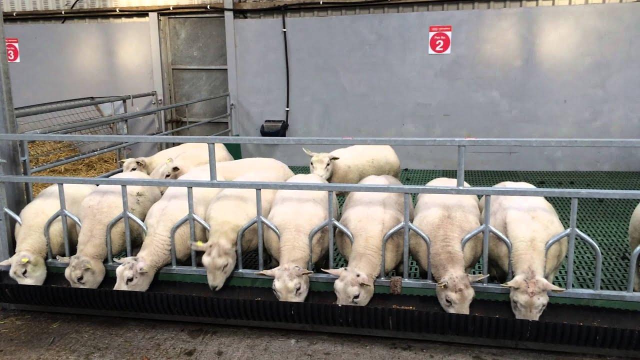 Housing Design For Sheep