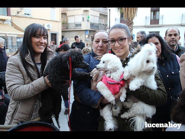 Vídeo Noticia: Bendición de animales en Santiago con motivo de la festividad de San Antón