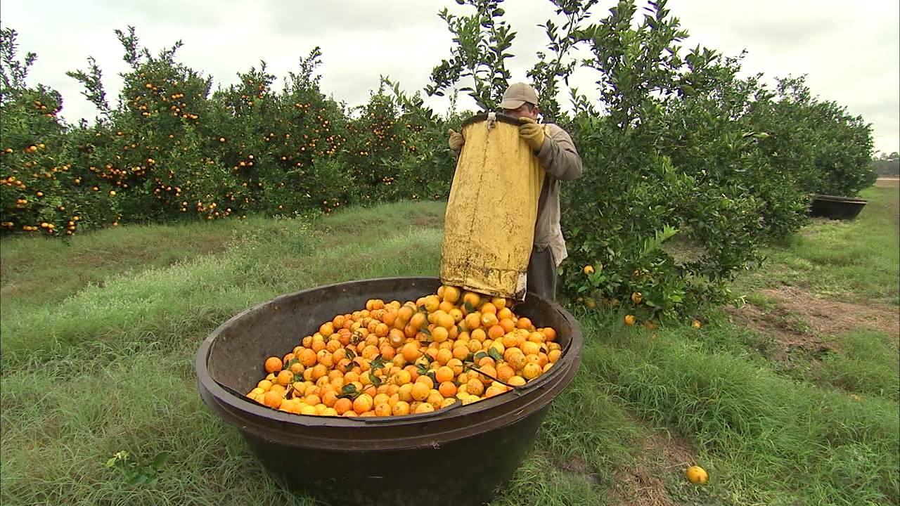 Oranges Harvesting