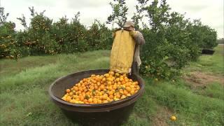 Oranges - Harvesting