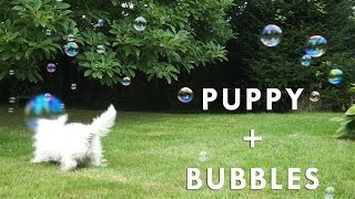 Puppy Plays With Bubbles! - Hattie The Westie