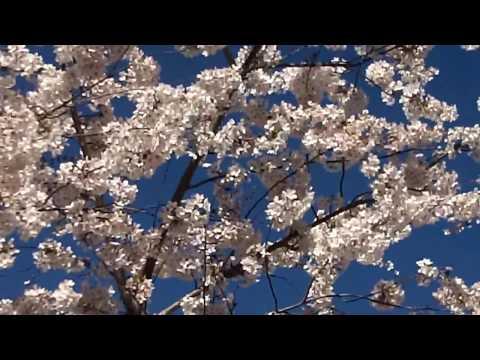 The Cherry Blossom Festival 2017 -  The Peak -  Washington DC -  3/29/2017 .