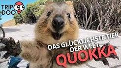 Das glücklichste Tier der Welt! Quokkas aus Australien! | Tripdoo.de