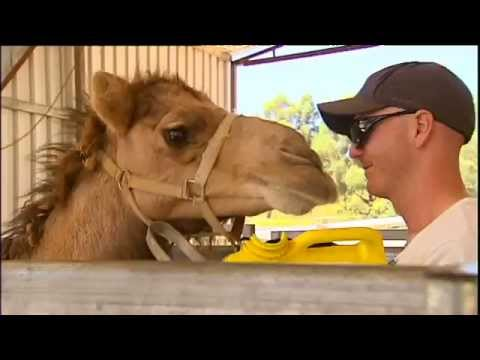 Turning Ferals Into Milking Machines At Australia's First Commercial Camel Dairy