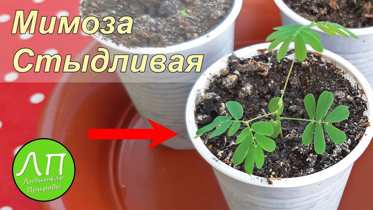 Проросли семена Мимоза стыдливая 🌱🌱🌱