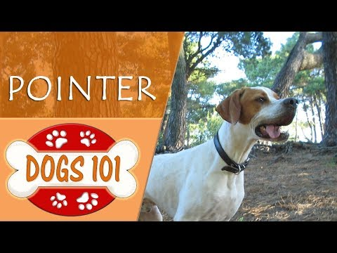 Dogs 101 - POINTER - Top Dog Facts About the POINTER