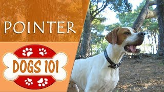 Dogs 101  POINTER  Top Dog Facts About the POINTER