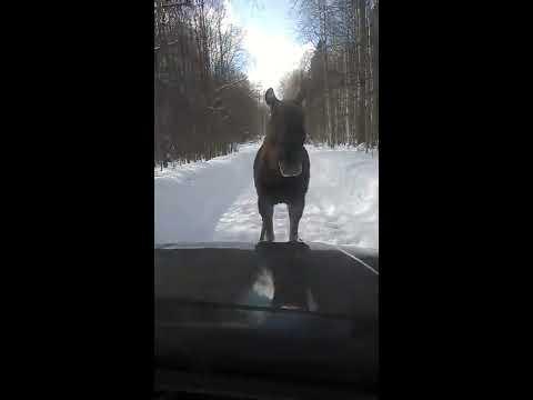 Суровый удмуртский лось, по дороге в деревню Эрестем.