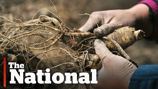 Wild Ginseng | How Poachers are Pushing it to Extinction in Canada