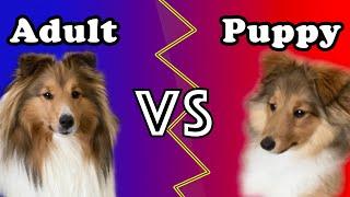 Sheltie Puppy vs Adult Sheltie