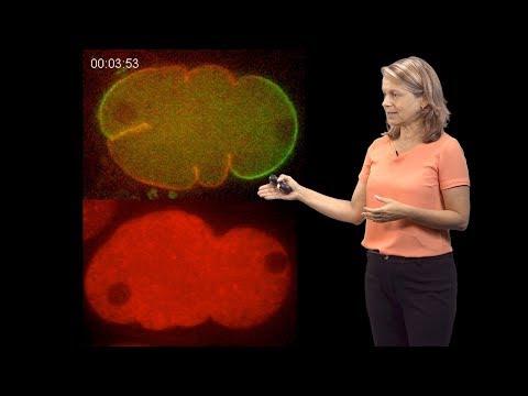 Geraldine Seydoux (Johns Hopkins / HHMI) 2: How to Polarize the Cytoplasm
