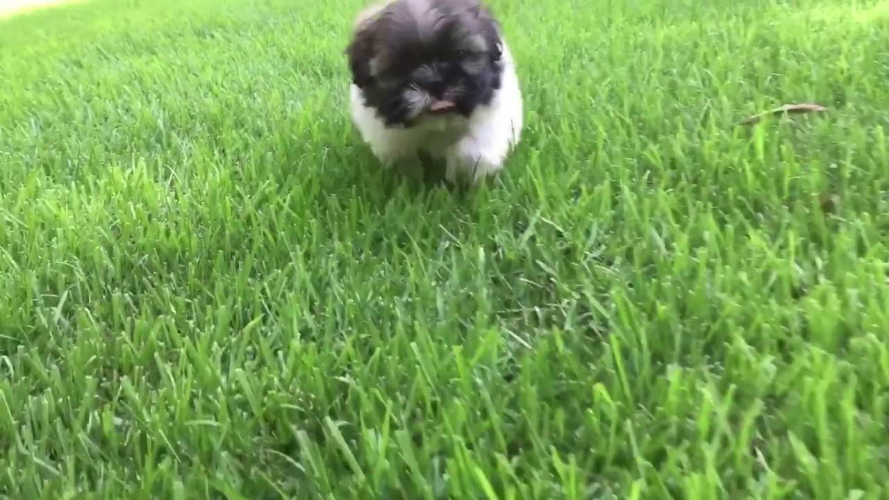Teddy Is A Very Intelligent Laid Back Tiny Imperial Shih Tzu