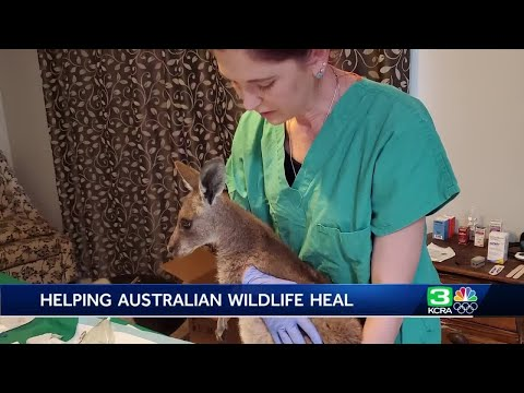 UC Davis Veterinarian Helps Australian Wildlife With Fish Skin