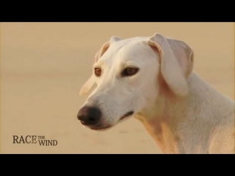 RACE THE WIND 19 - Persian & Arabian Sighthound • Saluki Sloughi Desert Hunting Dog Galgo Greyhound