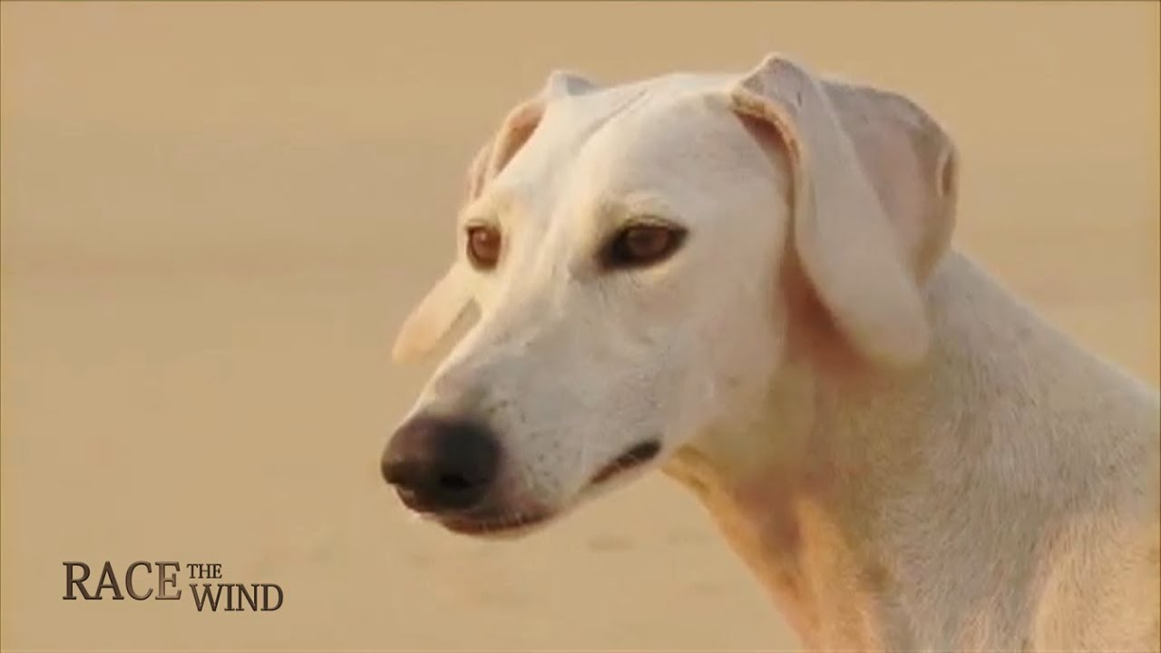 RACE THE WIND 19 - Persian & Arabian Sighthound • Saluki ...
