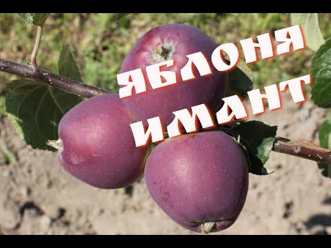 Яблоня Имант: перспективный белорусский сорт.
