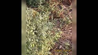 organic chick pea grow with mulching  and bed