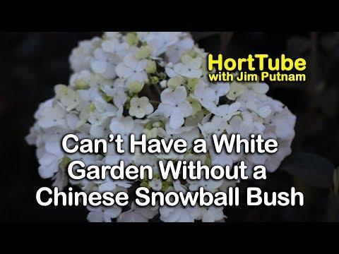 Chinese Snowball Viburnum For The White Garden