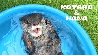 カワウソコタローとハナ 新発見!自分のヒゲで遊ぶコタロー Otter Kotaro Playing with His Whiskers