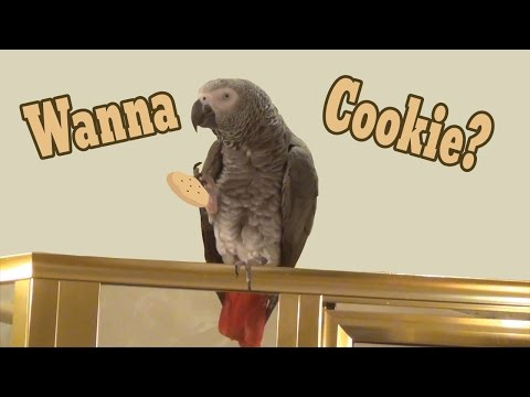 Einstein the Talking Parrot wants a Cookie