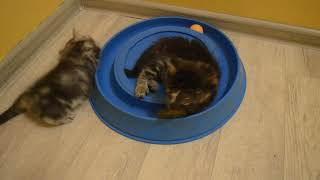 Котята сибирские питомник Spark Heart 1 месяц