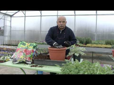 Coltivare i gerani, rinvaso e cimatura