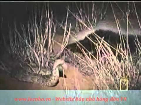 Chồn sa mạc - nỗi kinh hoàng của loài rắn
