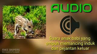Download Mp3 Suara Anakan Babi Memancing Sang Induk Dan Pejantan Keluar_ Fake Snipers