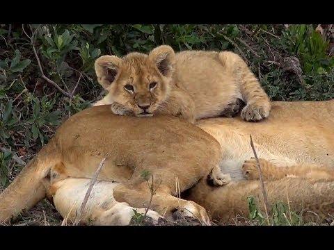SafariLive Oct 11 - Always cute...Lion cubs!