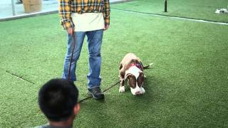 How to Train a Pit Bull to Be Around Kids : Raising Your Dog