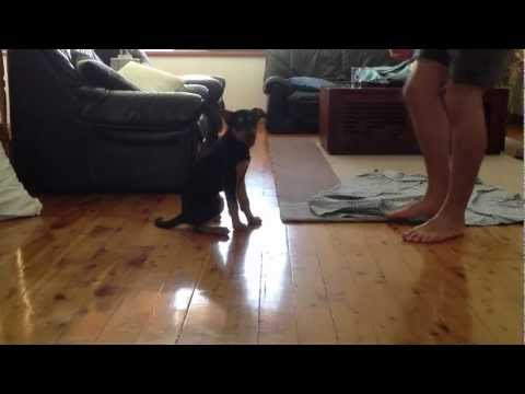 Sammy. 12 week old kelpie pup doing tricks.