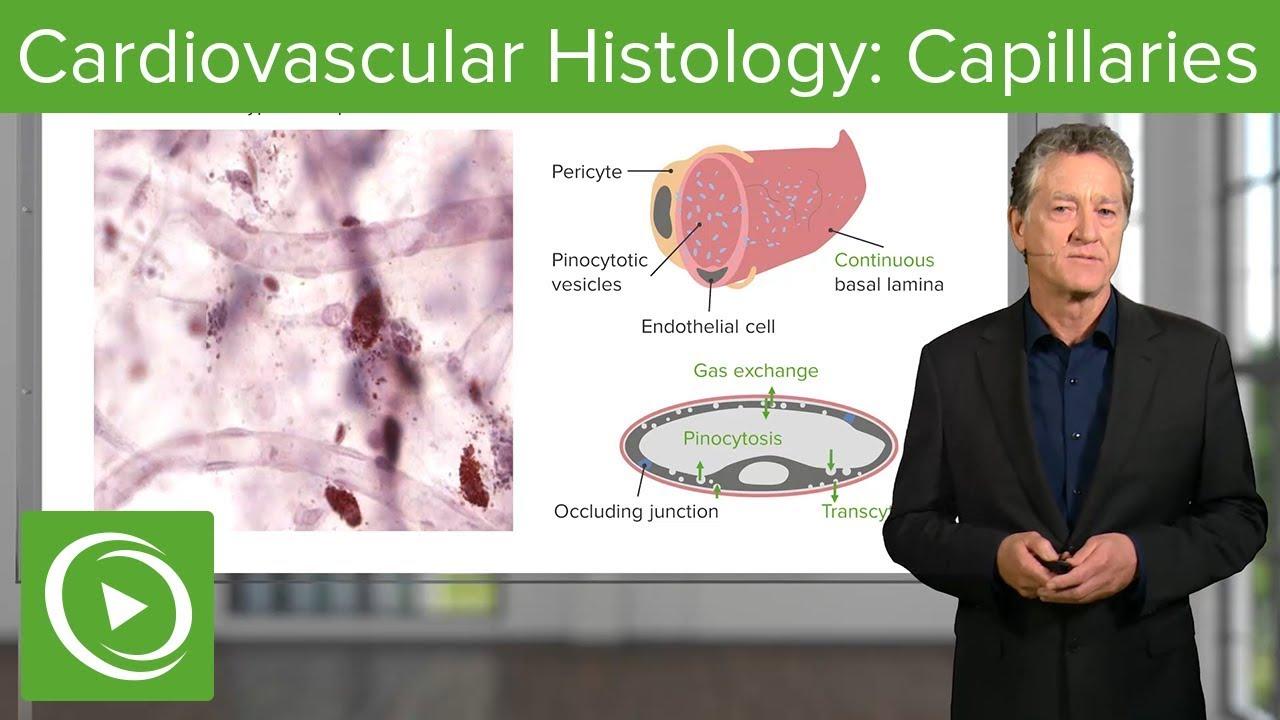 Cardiovascular Histology: Capillaries – Histology | Lecturio