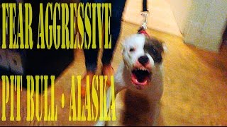 Fear Aggressive Pit Bull •alaska