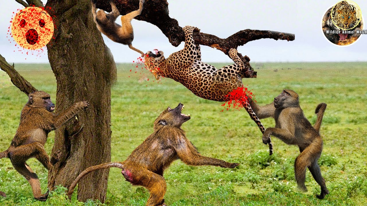 Leopard is defeated by Baboons - Leopard is attacked in trees by swarms of baboons