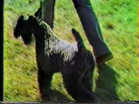 Kerry Blue Terrier Best of Breed Devon KC & Montgomery County KC 1984 (Part 2)