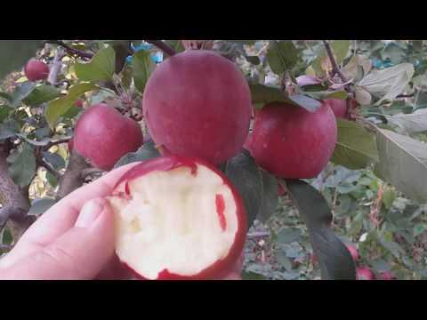 Яблоня сорт зимний Ред Дeлишес (Apple Red Delicious)
