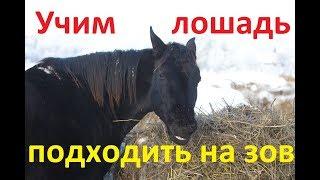 Как научить лошадь подходить на зов.
