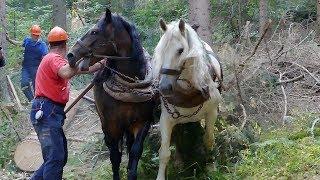 Konjima još uvijek izvlače trupce iz šume