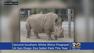 Second White Rhino Impregnated Through Artificial Insemination At San Diego Zoo