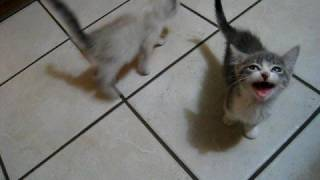 2 kittens, 1 cat, lots of meowing thumbnail
