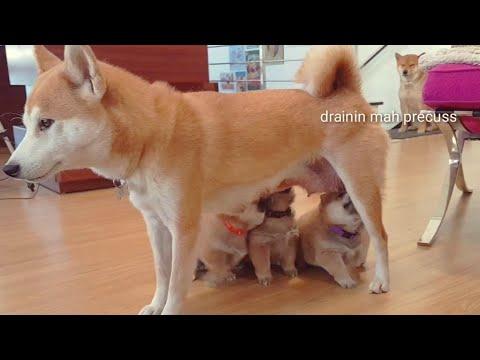 Hippidy hoppidy those potats not my property - Shiro 2019 / Shiba Inu puppies