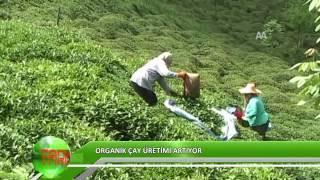 Organik çay üretimi artıyor
