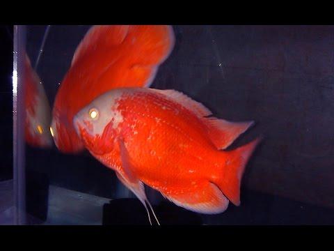 Chilli Red Oscar Breeding Pair Youtube