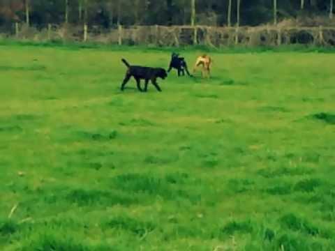 swatt-dogs-alano-espanol-playing-together